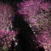 世界遺産の桜祭り。一本道に咲き乱れる今帰仁城址の夜桜