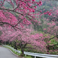道路に立ち並ぶ4,000本の桜!本部町八重岳の桜まつり2015